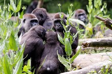 Gorilla Family Relaxing In Forest