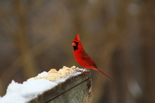 Northern Cardinal On Wooden Fence During Winter