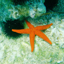 Red Sea Star And Sea Urchin Close Up On The Reef, Underwater Scene
