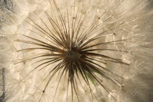 Blurry image of white dandelion flower, horizontal view. Abstract nature texture background. #319677865