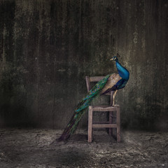 Peacock Perching On Wooden Chair Against Weathered Wall