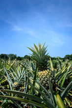 Pineapples Growing In Farm Against Blue Sky