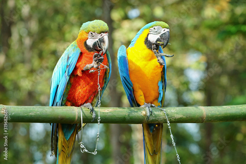 Fototapety, obrazy: Blue and Gold macaw vivid rainbow colorful animal with green background.(Scientific Name : Psittacus torquata).