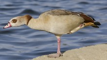 Side View Of Egyptian Goose On Retaining Wall By Lake