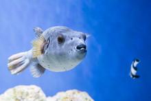 Fugu Puffer Blowfish Fish Arot...