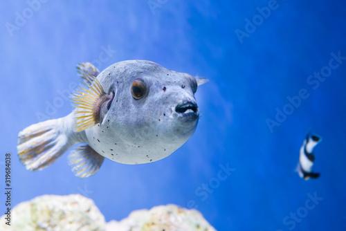 Fugu puffer blowfish fish Arothron Hispidus in aquarium as nature underwater sea Canvas Print