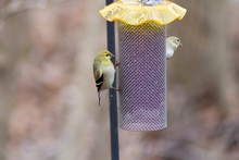 Close-Up Of American Goldfinch Perching On Feeder