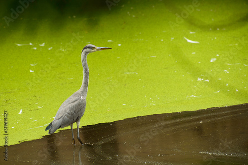 Gray heron, the bird stands in a green pond, algae bloomed. Canvas Print