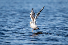 Seagull Landing On Sea