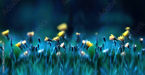 Floral summer spring background soft focus. Yellow dandelion flowers close-up in a field on nature on a dark blue green background in evening at sunset. Colorful artistic image. - 319696688