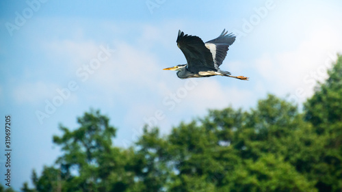 The gray heron flies over the trees on a sunny summer day. Wallpaper Mural