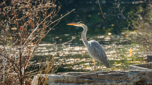 Photo Gray heron stands on the stone among the vegetation on the banks of the river