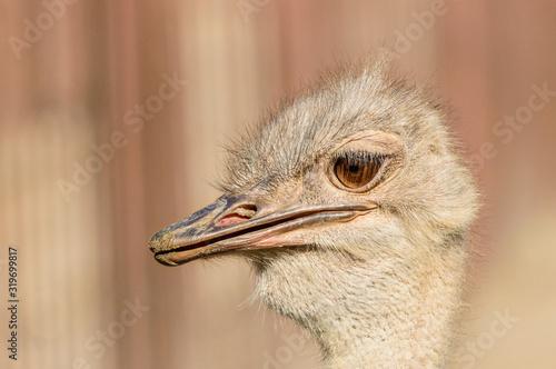 Portrait, the head of an ostrich with an open beak on a sunny summer day Fototapeta