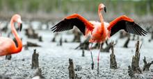 Caribbean Flamingos ( Phoenicopterus Ruber Ruber).  Rio Maximo, Camaguey, Cuba.