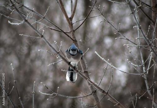 Fototapeta Blue Jay Perching On Bare Tree