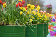 Tulips And Daffodils In The Tin Pots