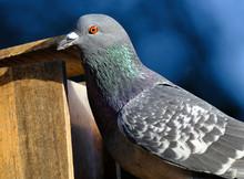 Portrait Of Wild Feral Pigeon In Urban House Garden.