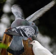 Feral Pigeons Fighting Over Peanuts In Squyirrel Feeding Box.