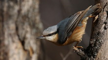 Eurasian Nuthatch Or Wood Nuth...