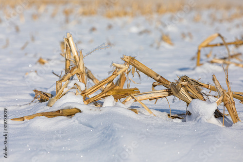 Stampa su Tela Closeup view of snow covered harvested cornfield in winter with frost on golden
