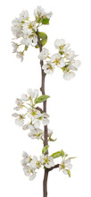 Pear Blossom Isolated