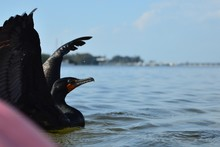 Side View Of Cormorant Swimming On Lake