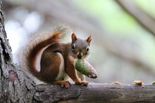 Portrait Of Squirrel Eating Pine Cone On Branch