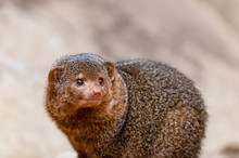 Portrait Of A Mongoose