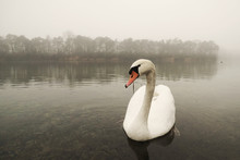 Mute Swan Swimming In Lake During Foggy Weather