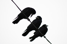 Contrasting Image Of Three Crows Sitting On A Wire