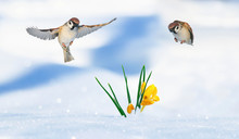 Two Birds Sparrows Fly Over Yellow Crocus Flowers Growing From Under The Snow In Spring Sunny Garden