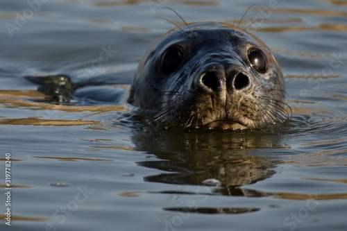 Close-Up Portrait Of Seal Swimming In Sea Wallpaper Mural
