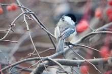 Close-Up Of Carolina Chickadee Perching On Bare Tree