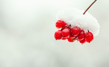 Snow Covered Red Viburnum Berr...