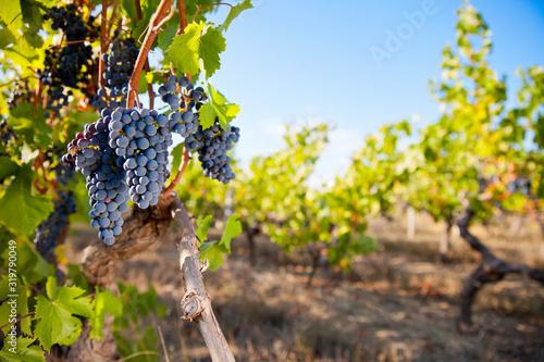 Fotografiet Raisin noir dans un vignoble en France.