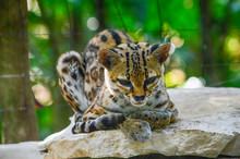 Beautifull Ocelot Resting - Yucatan, Mexico