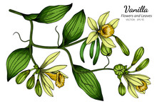 Vanilla Flower And Leaf Drawing Illustration With Line Art On White Backgrounds.