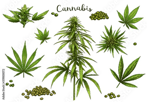 Fototapeta Color hand drawn cannabis. Green hemp plant seeds, sketch cannabis leaf and marijuana bud vector illustration set. Bundle of elegant detailed natural drawings of wild hemp foliage and inflorescences. obraz