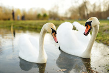 Two White Swans Swimming In A ...