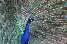 Close-Up Of Fanned Out Peacock