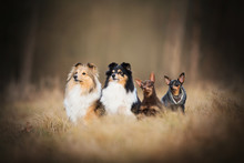 Dog Pack - On Meadow