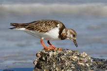 Ruddy Turnstone Foraging On An...