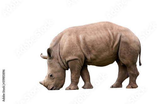 Fényképezés White rhino / Square-lipped rhinoceros (Ceratotherium simum) calf against white