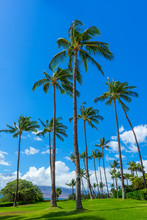 Group Of Tall Palm Tress On Gr...