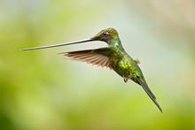 Sword-billed Hummingbird (Ensi...