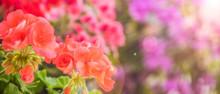 Balcony Flowers, Small Garden With Blossom Of Geranium