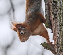 Eichhörnchen Kopfüber Am Bau...