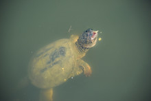 CLOSE-UP OF Turtle SWIMMING