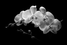 A Sprig Of White Orchid With B...