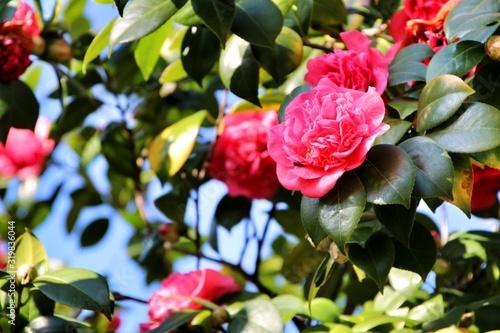 Obraz na plátne Pink Camellia Japonica flowers in a garden in Guimaraes